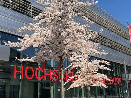 Cherry blossom on the campus of the Düsseldorf University of Applied Sciences