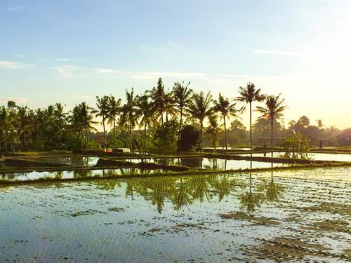 Blue sky and Sun, Palms are surrounding a Rice field filled with water.